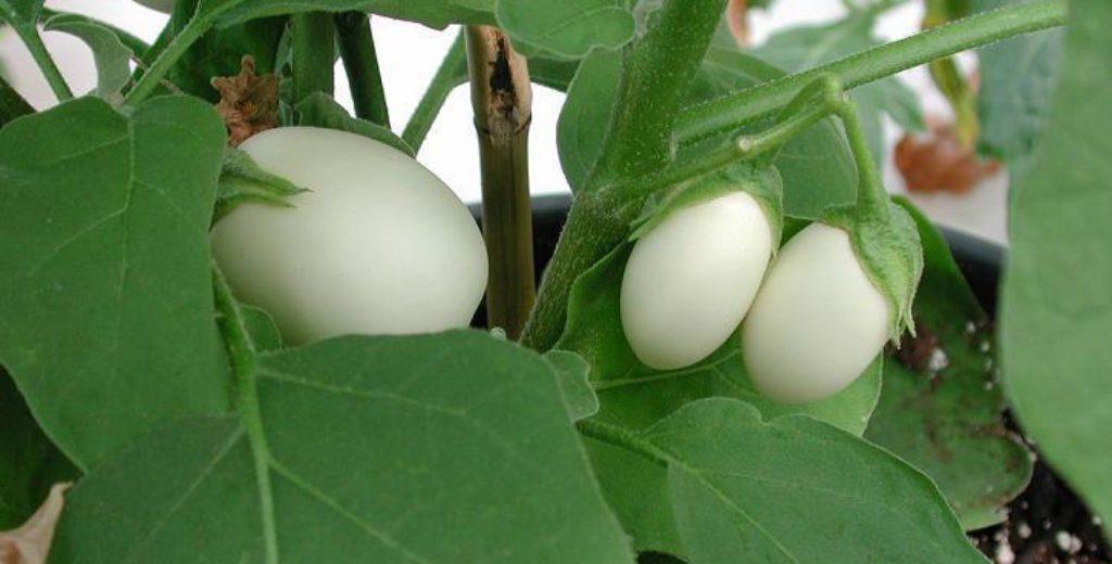 Você sabe o que é a Solanum ovigerum ?